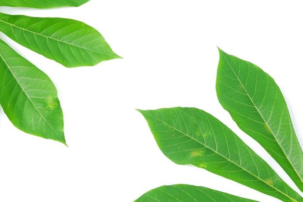 흰색 배경에 고립 된 카사바 잎