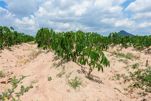 Cassava plantation farming , growing of cassava