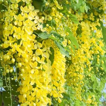Cassia fistula цветок на дереве, желтая фаза на фоне дерева foe