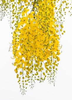 Cassia fistula flower.