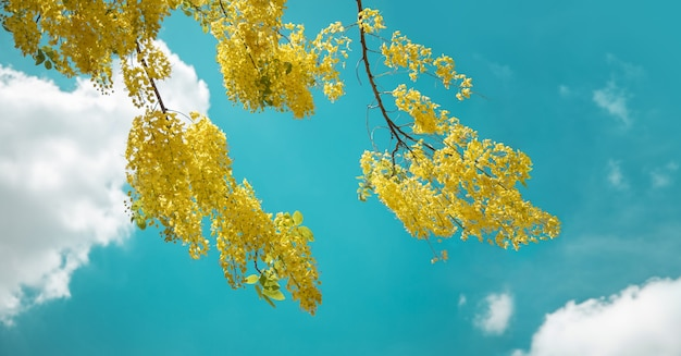 Cassia fistula or golden shower, purging cassia, indian laburnum, or pudding-pipe tree