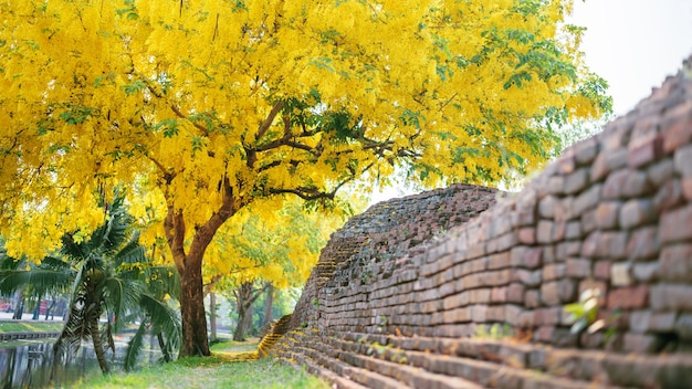 ( cassia fistula, golden shower tree ) yellow flower blooming on roadside in april around the old wall , chiang mai, thailand