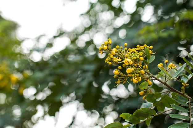 カッソドの木、タイの銅ポッド