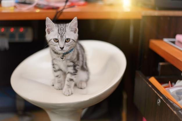 カメラを見ている猫アメリカンショートヘアの子猫。