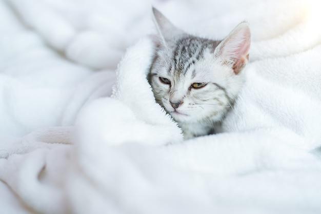 ノスタルジックに見える猫アメリカンショートヘアの子猫。