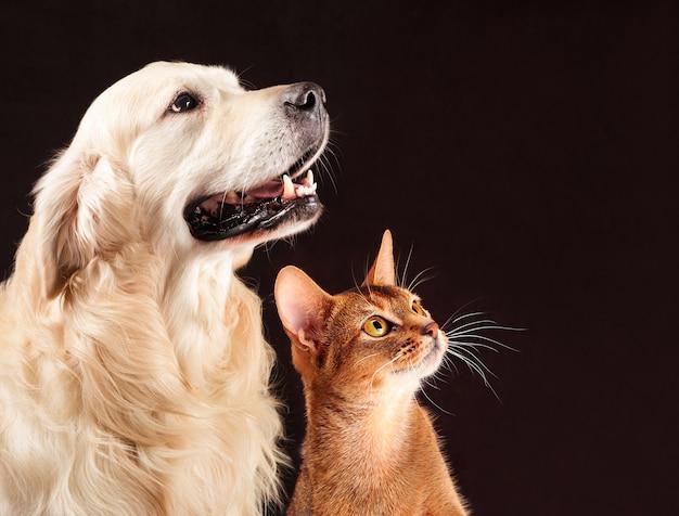 Кошка и собака, абиссинский котенок, золотистый ретривер смотрит справа