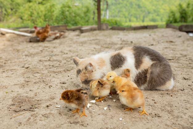猫と小さな鶏が一緒に食べる