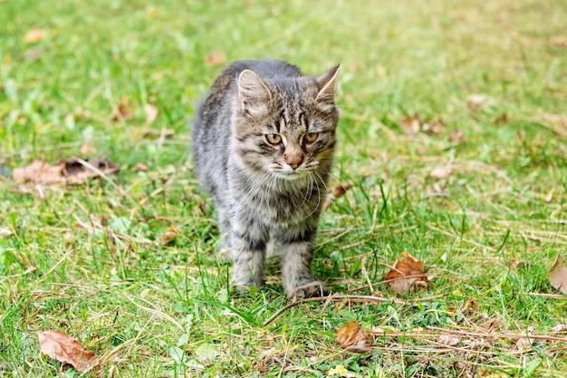 Cat in autumn park. grey kitten walking on colorful fallen leaves outdoor.