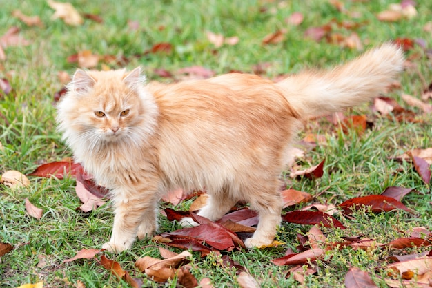 Cat in autumn park. red kitten walking on colorful fallen leaves outdoor.