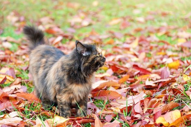 Cat in autumn park. tortoiseshell kitten walking on colorful fallen leaves outdoor.