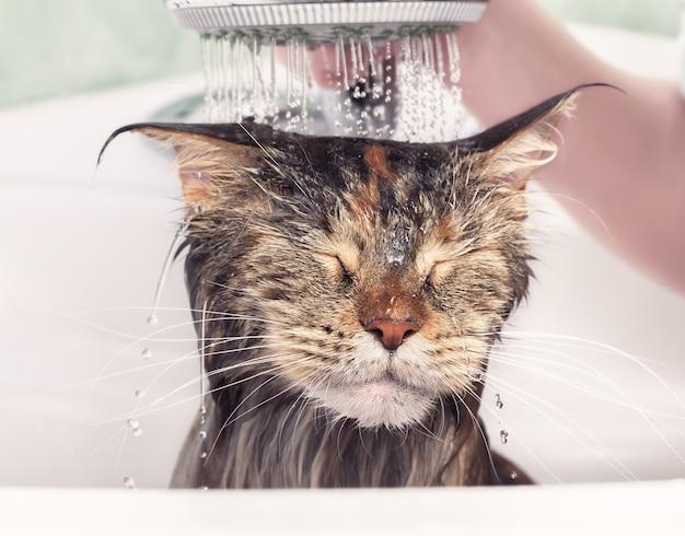 고양이 목욕. 젖은 고양이. 샤워실에서 씻은 고양이