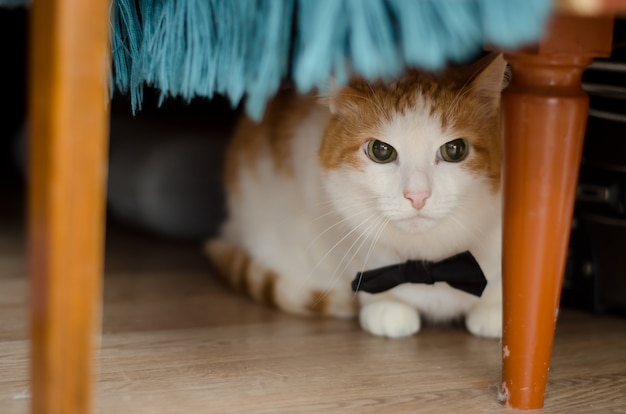 Cat in bow tie lies under the table