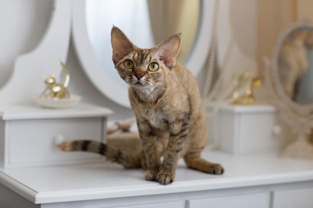猫の品種デボンレックスは目を深く見る