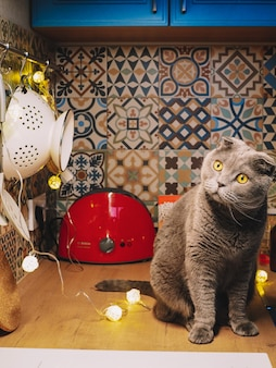Cat breed scottish fold in a bright kitchen decorated for christmas