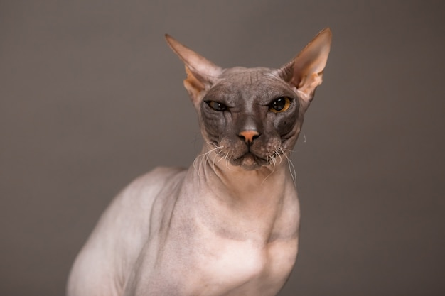 Cat breed sphinx on a gray