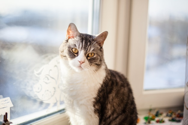 Cat of the british breed is sitting on the sill of the window, gray cat and white paws