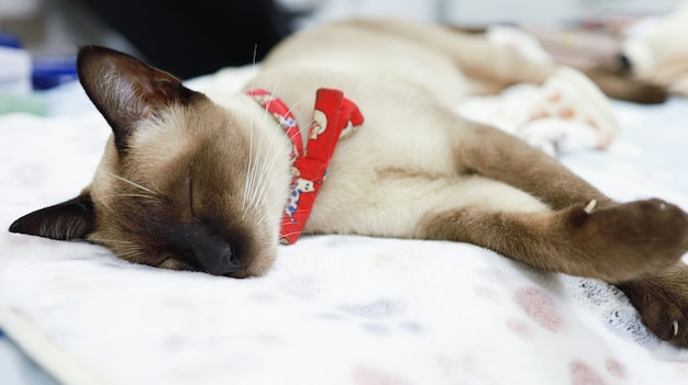 Cat brown beige cat siamese cat resting