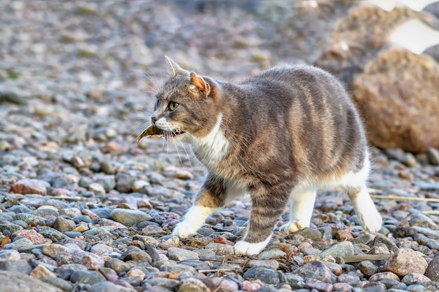 The cat carries a small fish in its mouth.