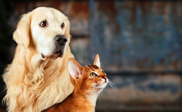 Cat and dog, abyssinian cat, golden retriever together on rusty colorful , sad anxious mood.