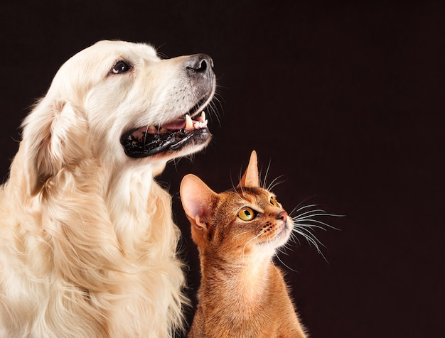 Cat and dog, abyssinian kitten, golden retriever looks at right