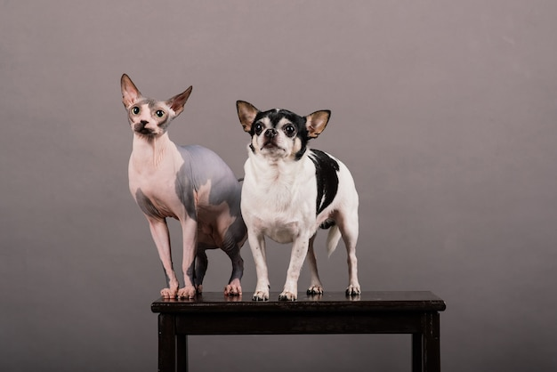 Cat and dog together in front of grey background in studio, canadian sphynx, chihuahua