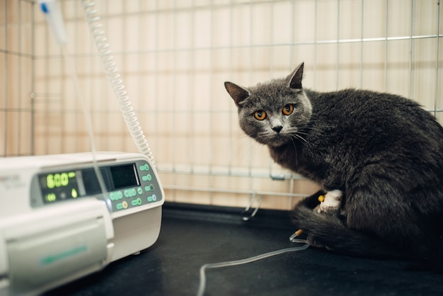 Cat on a drip after surgery operation in clinic