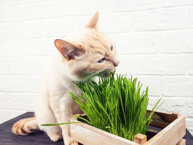 猫を食べる草、緑の背景に新鮮な草を食べる美しいクリームトラ猫。猫は新鮮な緑の草を食べています。ペットの健康の概念。
