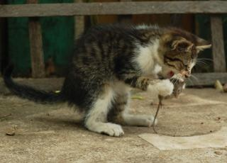 Cat eating a mouse