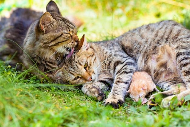 猫の家族。芝生の上のママ猫、パパ猫と赤ちゃん