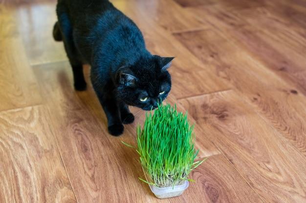 Кошачья трава. кошка ест кошачью траву