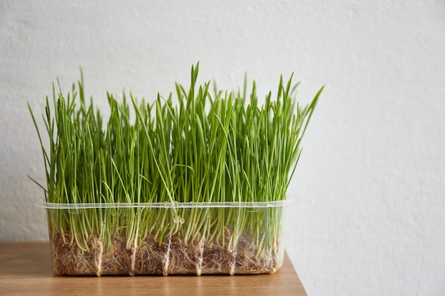 Cat grass closeup standing on table pot with wheat grass nutritious tray of homegrown wheatgrass