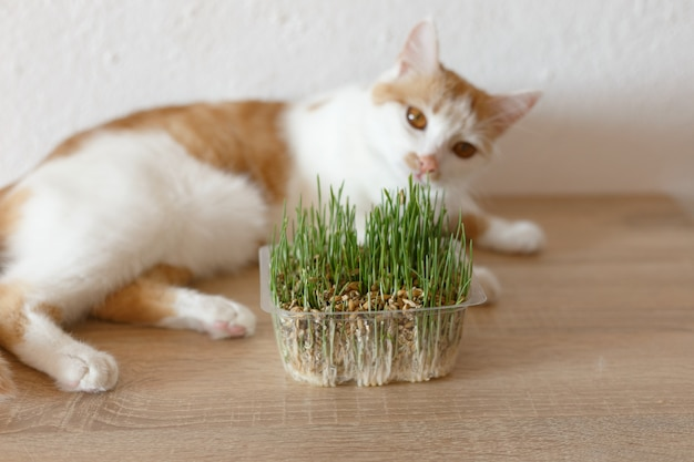 Cat and grass that you can eat