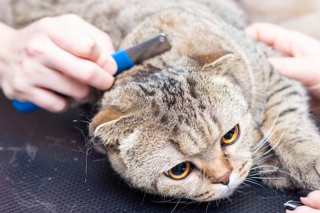 Кошачья стрижка, расчесывание шерсти. экспресс линька красивый кот в салоне красоты. стрижка животных, расчесывание волос. мастер груминга кошек.