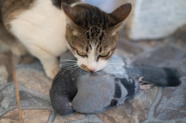 Охотник на кошек и кусает птицу на земле. котенок и голубь. питомец убивает птиц и ест их.