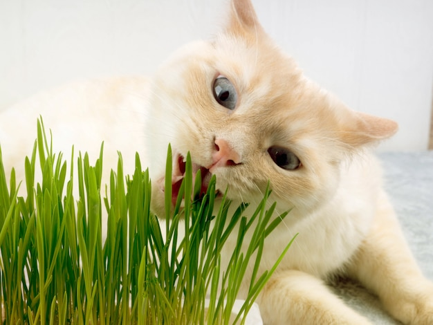 Cat is eating fresh green grass. cat grass, pet grass. natural hairball treatment.