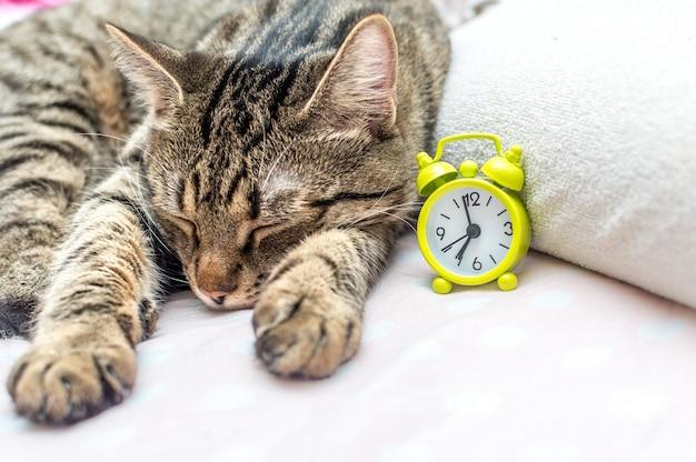 Кот спит рядом с будильником. концептуальное утро