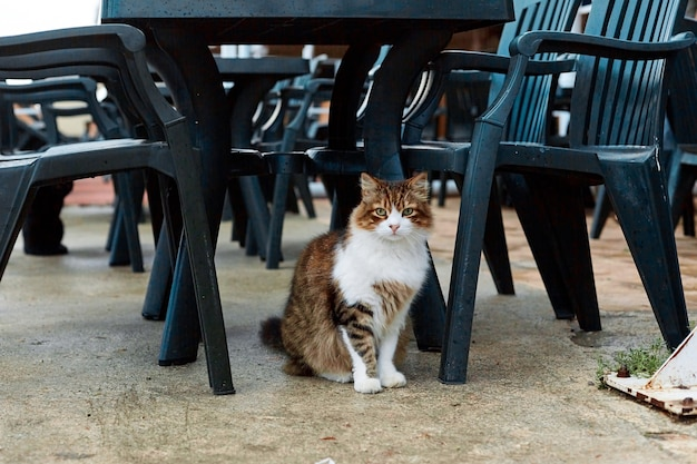 The cat is waiting for food while sitting under a table on a summer terrace in a cafe
