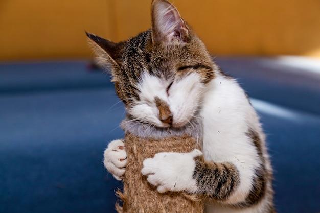 猫はキャットニップネペタカタール、ペット猫のお菓子をなめる