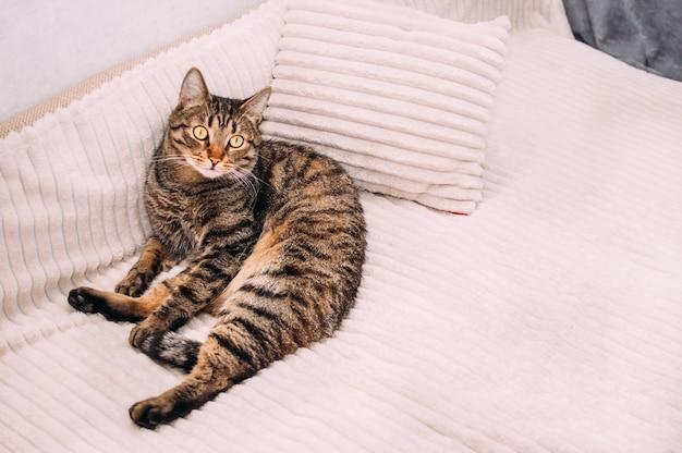 猫は枕の上のベッドに横たわっています