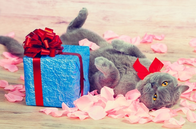 The cat lies on rose petals near a blue gift box with a red ribbon with a large bow