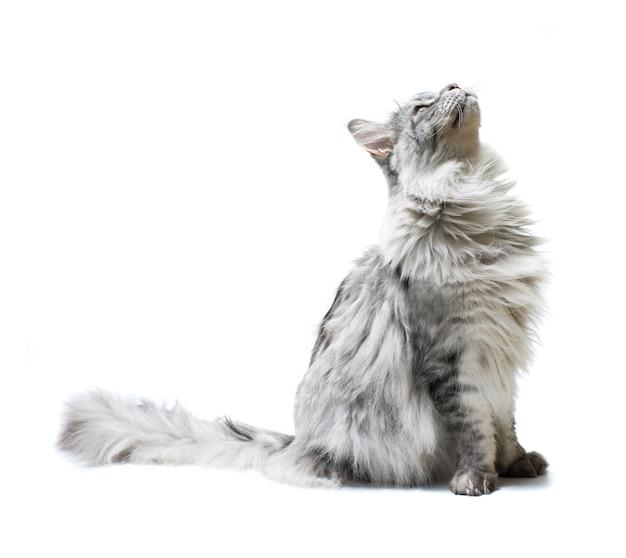 고양이에 고립 된 흰색 표면을 찾고입니다.