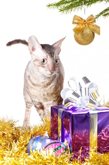 Cat looks at christmas gift