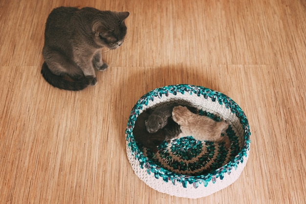 The cat looks at four fluffy kittens sleeping in a bright basket