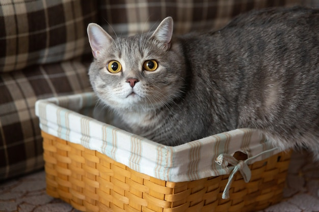 猫は信じられないほど懐疑的に見えます。太ったぶちブリティッシュ猫が籐のかごに座っています。
