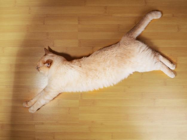 Кот лежит. портрет крупным планом. очаровательный питомец. вид сверху вниз.