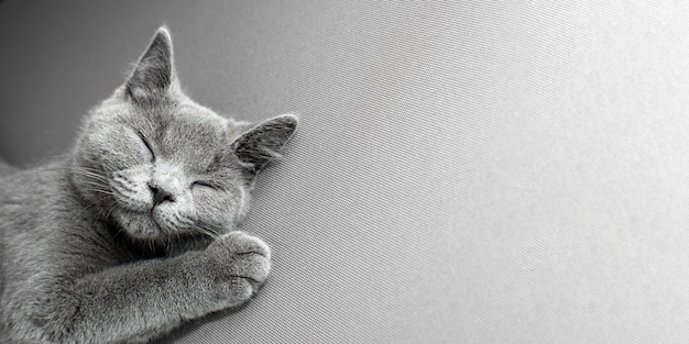 灰色の背景の上に横たわる猫、