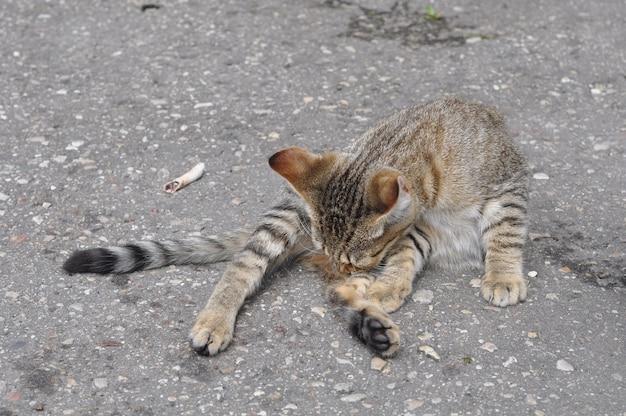 Кот лежит на дороге и лижет себя на дороге