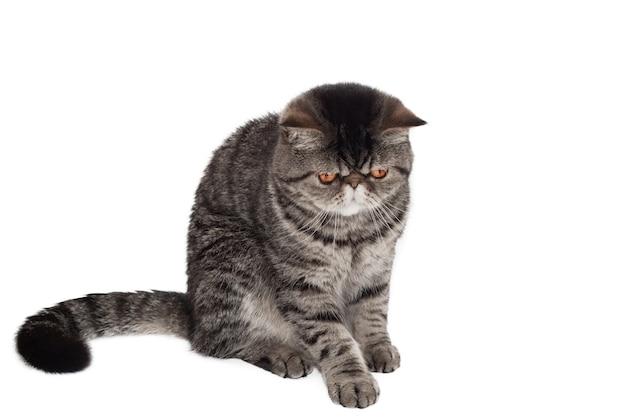 품종의 고양이 이국적인 쇼트헤어 검은 얼룩 무늬가 흰색 배경에 고립