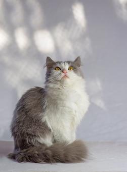 白い壁の上の猫。自宅で素敵な猫。美しい二色の白灰色の猫。美しい灰色と白猫。