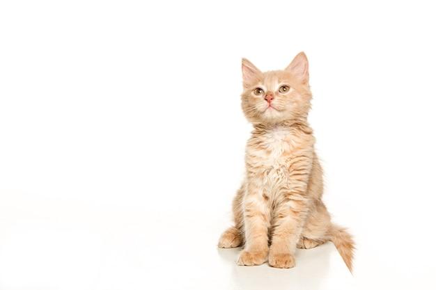 白い背景の上の猫